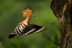 Eurasian Hoopoe & x28;Upupa epops& x29;. Feeding it& x27;s chicks captured in flight royalty free stock photos