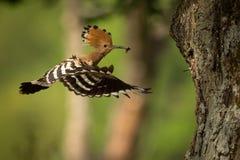 Eurasian Hoopoe & x28;Upupa epops& x29;. Feeding it& x27;s chicks captured in flight stock images
