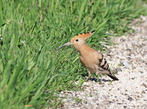 Eurasian Hoopoe, Upupa epops Stock Photography