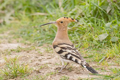 Eurasian Hoopoe Royalty Free Stock Images