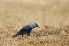 Eurasian Jackdaw. Eyeing at something in spring grass Stock Photography