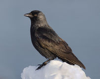 Eurasian Jackdaw Stock Photos