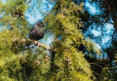 Eurasian Jackdaw on a Pine tree. Black Eurasian Jackdaw sunbathing on a pine tree on a warm early spring day royalty free stock photos
