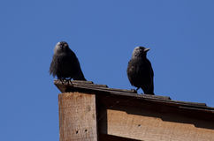 Eurasian Jackdaws Royalty Free Stock Photos