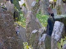 2 eurasian jay в еврейском кладбище, Прага Стоковые Изображения