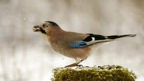 Eurasian jay на фидере птицы зимы с семенами в клюве Стоковое Изображение