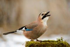 Eurasian jay на фидере птицы зимы с семенами в клюве Стоковые Изображения