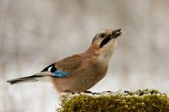 Eurasian jay на фидере птицы зимы с семенами в клюве Стоковые Фотографии RF