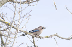 Eurasian Jay. On a branch Royalty Free Stock Photography