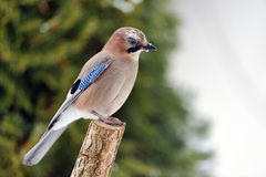 Eurasian Jay Stock Photos