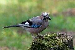 Eurasian Jay Royalty Free Stock Photos