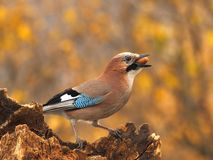 Eurasian jay  with a acorn Royalty Free Stock Photo