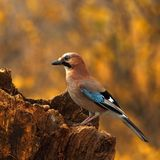 Eurasian jay  with a acorn 2. Stock Photo