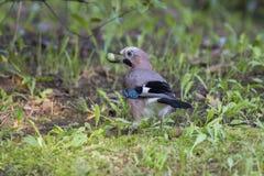 Eurasian Jay with acorn Royalty Free Stock Photos