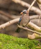 Eurasian Jay with acorn nut Royalty Free Stock Photo