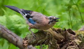 Eurasian Jay active in motion with open beak on aged mossy snag royalty free stock photography