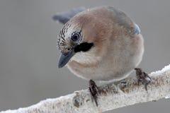 Eurasian Jay bird Royalty Free Stock Photography