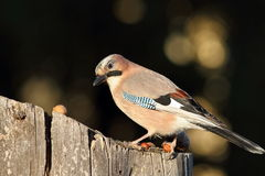 Eurasian jay at bird feeder Stock Images