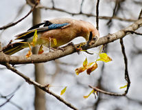 Eurasian jay. Bird sits on a branch of a tree and a worm in its beak Royalty Free Stock Image