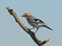 Eurasian jay on a branch Stock Images