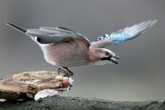 The Eurasian jay on the branch holds a piece of fat in its beak. The bird is isolated on a homogeneous blurred background Royalty Free Stock Photo