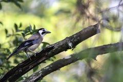 Eurasian Jay catch rot branch Royalty Free Stock Photos