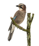 Eurasian Jay che si appollaia su un ramo, glandarius del Garrulus, isolato immagine stock libera da diritti