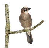Eurasian Jay che si appollaia su un ramo, glandarius del Garrulus, isolato fotografia stock libera da diritti