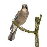 Eurasian Jay che si appollaia su un ramo, glandarius del Garrulus, isolato fotografie stock