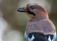 Eurasian jay head portrait of bird with a poisinous beetle in the beak stock images