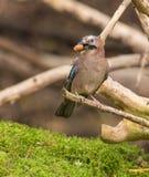 Eurasian Jay con il dado di ghianda fotografia stock libera da diritti