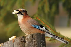 Eurasian jay eating piece of bread Stock Images