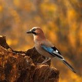 eurasian jay för 2 ekollon Arkivfoto
