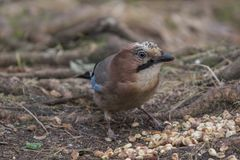 Eurasian jay finding food. Eurasian Jay picking up some peanuts on the ground Royalty Free Stock Images