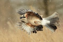Eurasian Jay in flight in the snow Stock Photography