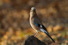 Eurasian jay, in France Stock Images