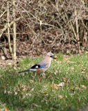 The Eurasian Jay (Garrulus glandarius) Stock Image