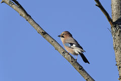 Eurasian jay, garrulus glandarius Stock Photos