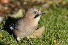Eurasian jay, garrulus glandarius Royalty Free Stock Photos