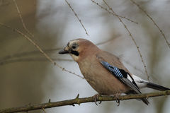 Eurasian Jay (Garrulus glandarius) Royalty Free Stock Photo