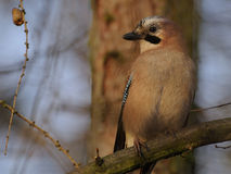 Eurasian Jay (Garrulus glandarius) royalty free stock photos