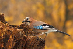Eurasian jay (Garrulus glandarius) Royalty Free Stock Photography