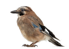 Eurasian Jay, Garrulus glandarius, 8 years old Stock Photography