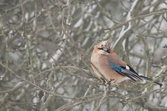 Eurasian jay Garrulus glandarius in the bushes in winter, colo Stock Photos