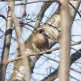 Eurasian jay, Garrulus glandarius, close-up portrait in branches with peanuts in beak, selective focus, shallow DOF Stock Photo