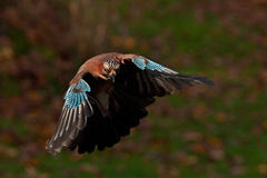 Eurasian jay Garrulus glandarius. Comes flying with autumn colors Royalty Free Stock Images