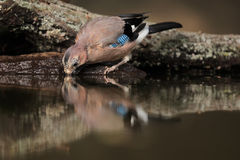 Eurasian jay. The Eurasian jay Garrulus glandarius drinks at sunrise with the small watering hole stock image