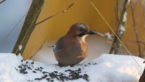 Eurasian jay (Garrulus glandarius) eats seeds and bread sitting in a manger stock video