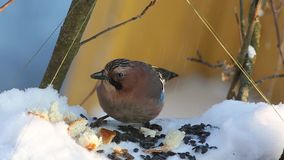 Eurasian jay (Garrulus glandarius) eats seeds and bread sitting in a manger stock video footage