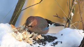 Eurasian jay (Garrulus glandarius) eats seeds and bread sitting in a manger stock footage